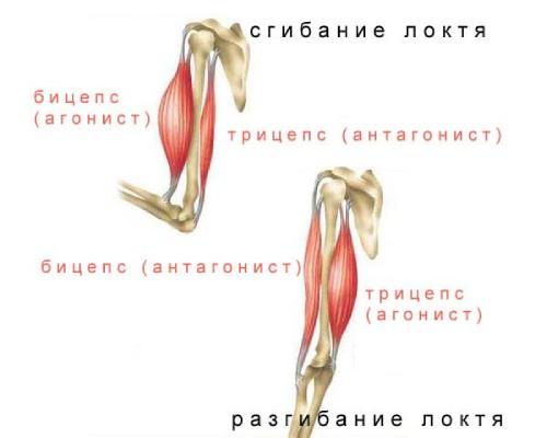 мышцы синергисты_2