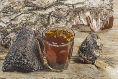 польза и вред чага березовая древесный гриб
